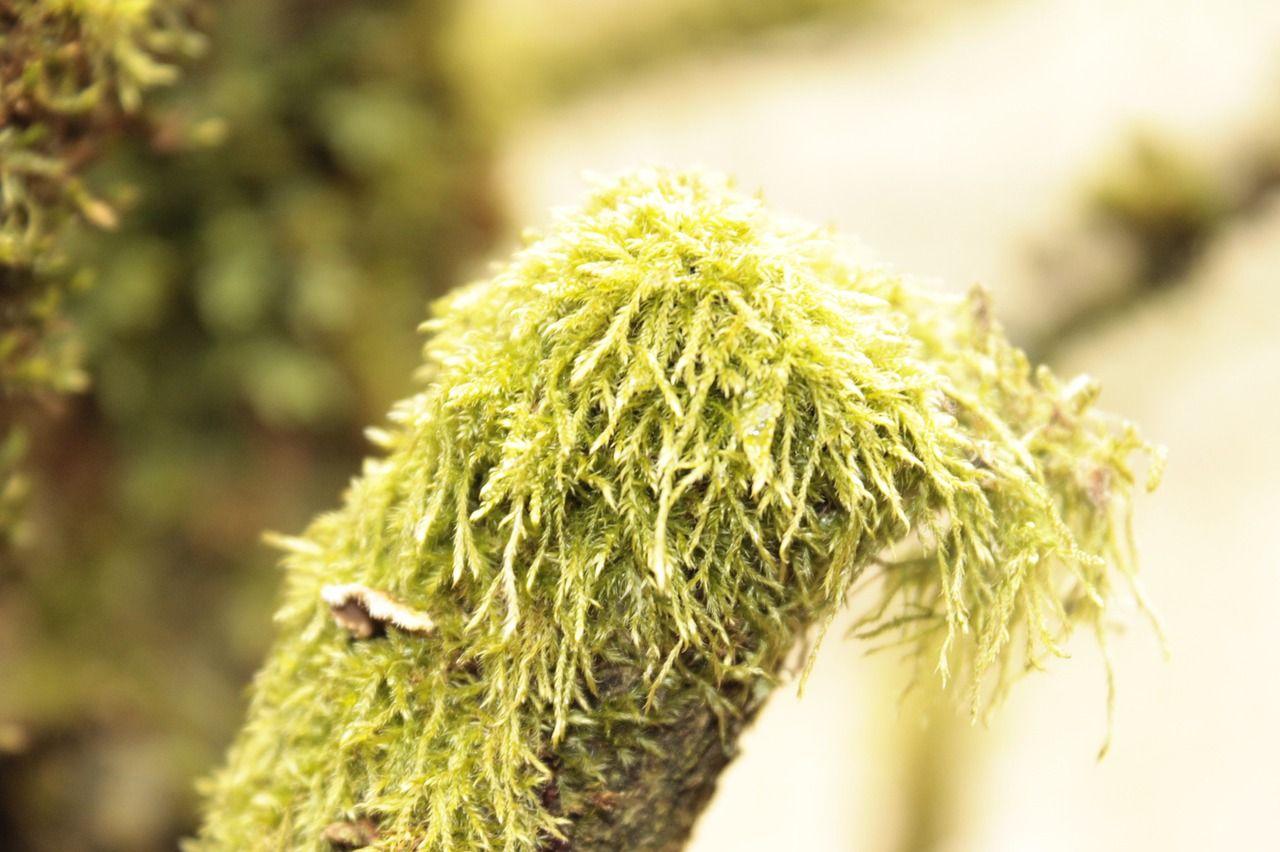 Louisanamoos – eine aparte Zimmerpflanze