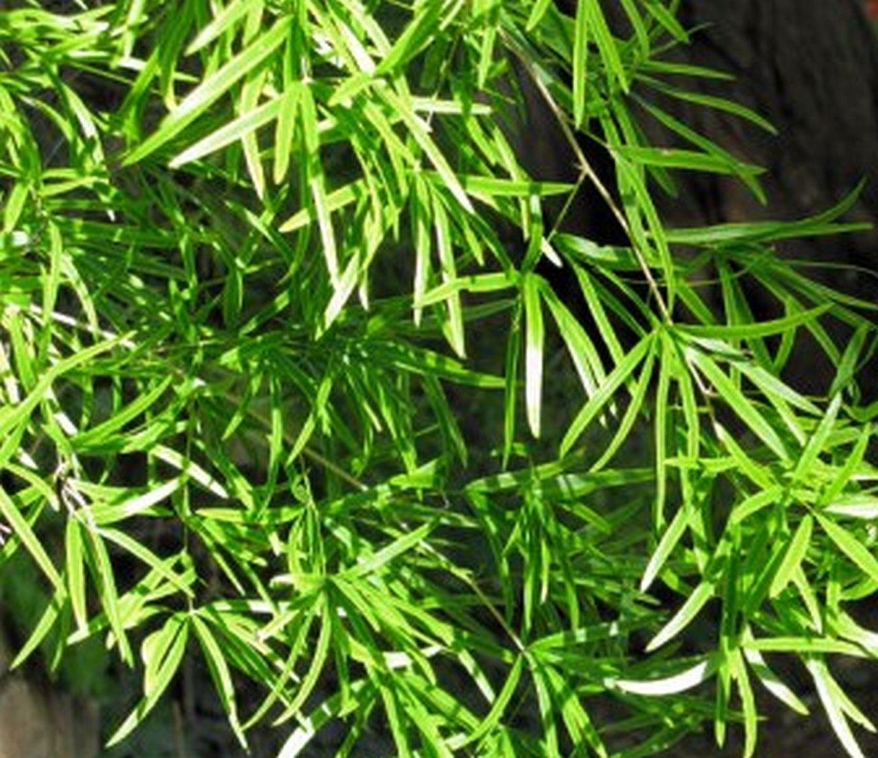 Sicheldorn-Spargel – ein Pflanzenportrait
