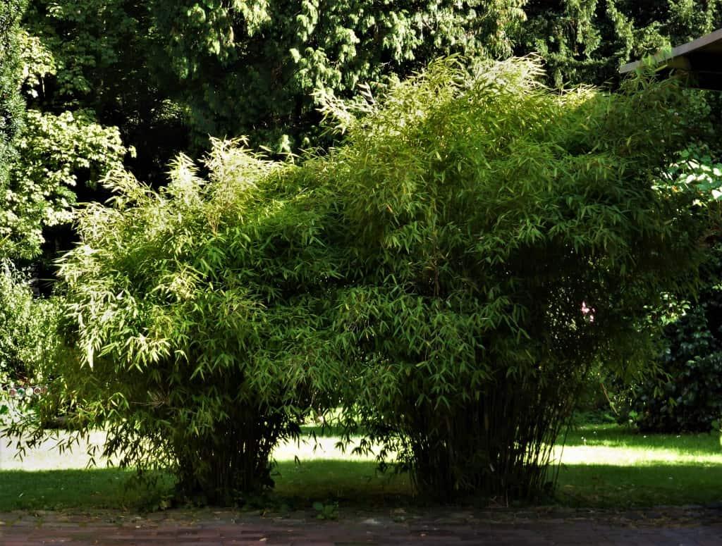 Prächtige Bambuspflanzen