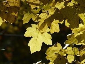 Feldahorn – ein Pflanzenportrait