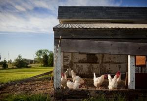Einen sicheren Hühnerstall samt Auslauf errichten