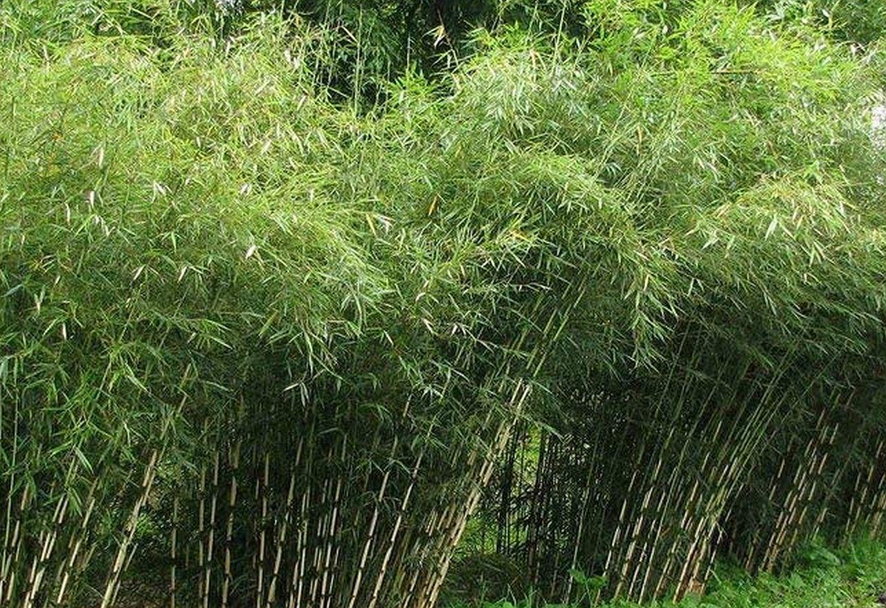 Der Schirmbambus – ein Pflanzenportrait