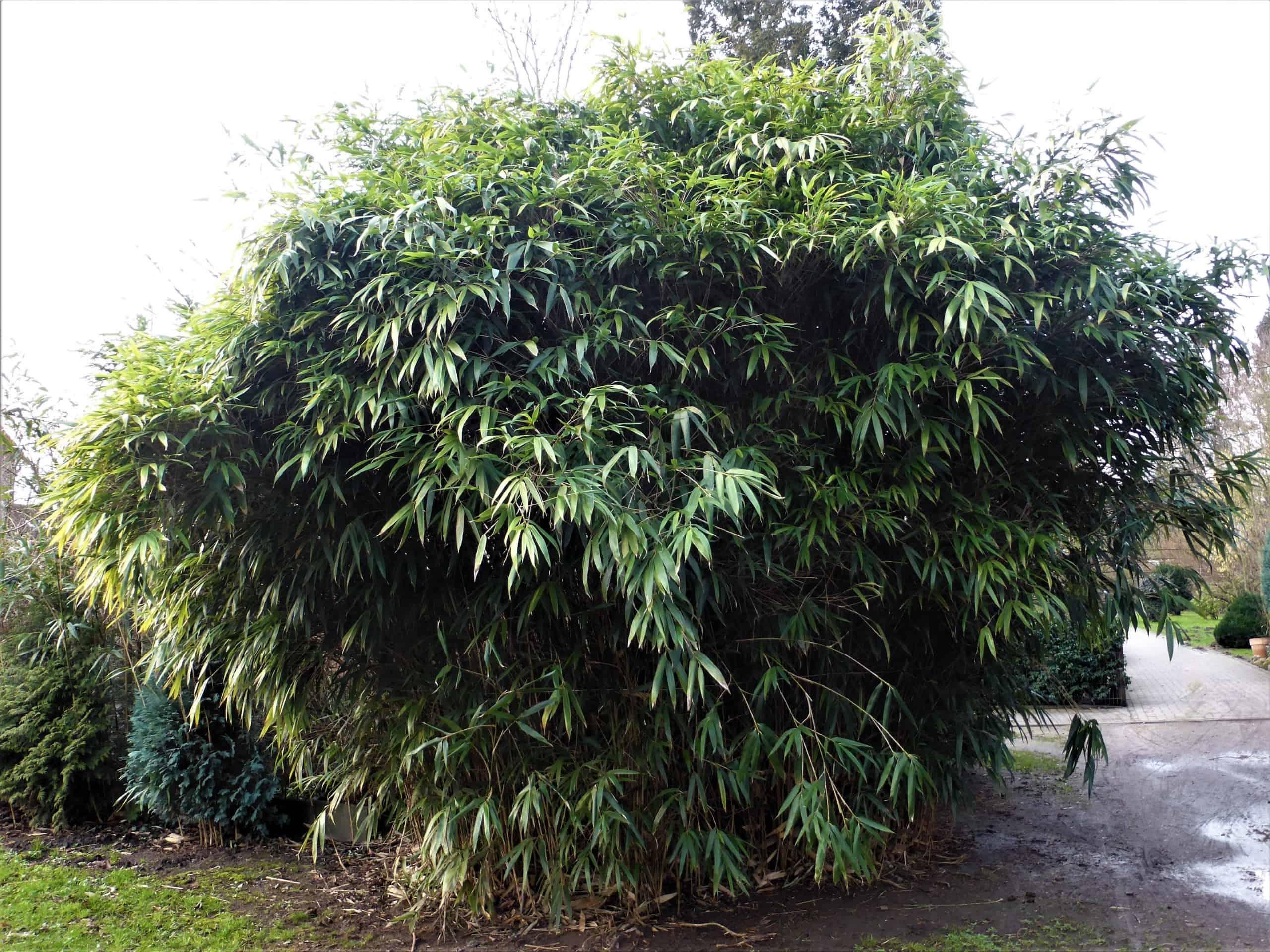 stattlicher Bambus
