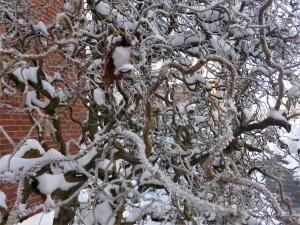 Korkenzieherhasel – eine verdrehte Laune der Natur