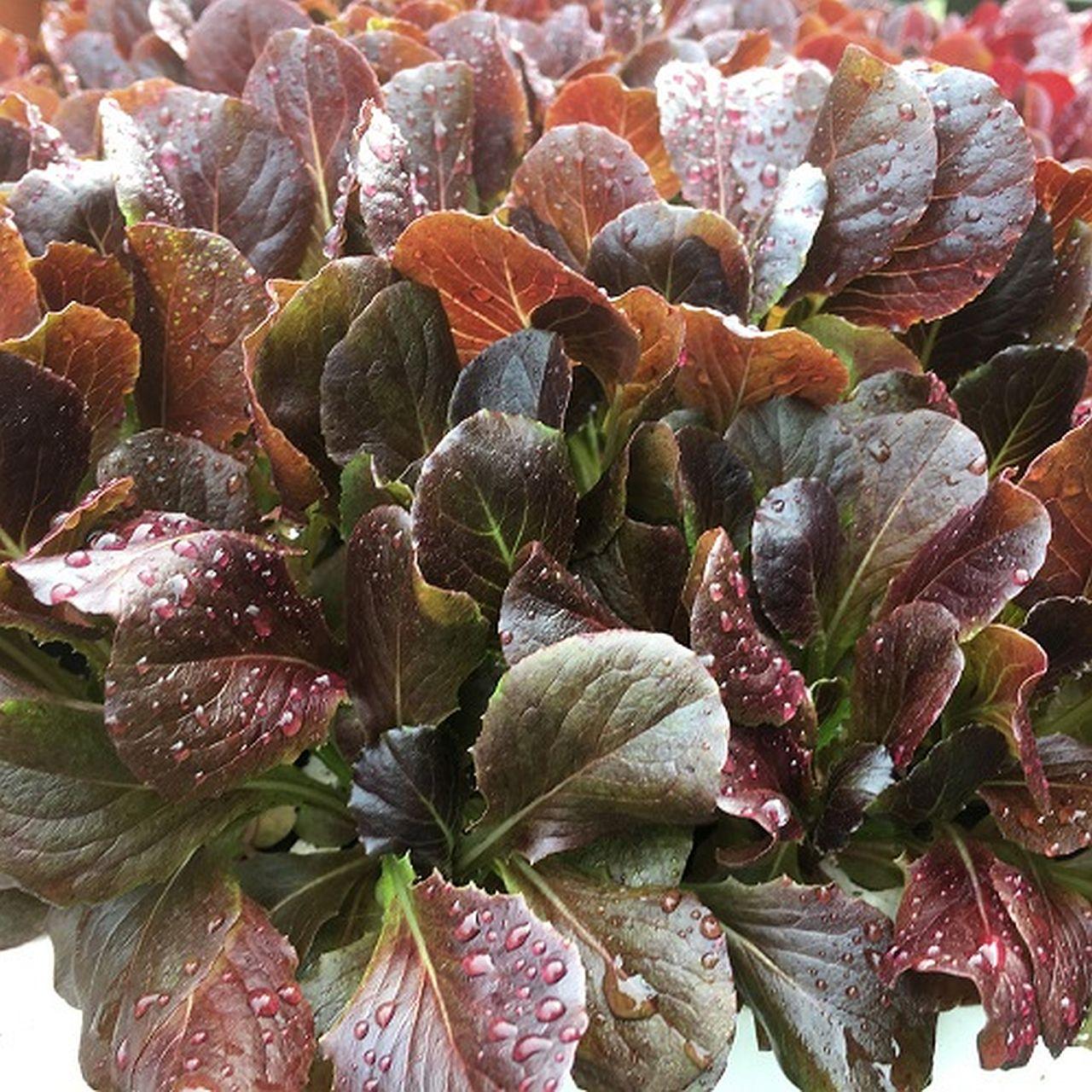 Roten Feldsalat anbauen – und verspeisen