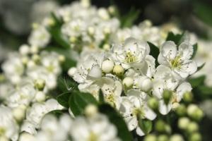 Weißdorn – ein Pflanzenportrait