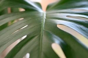 Fensterblatt – ein Pflanzenportrait