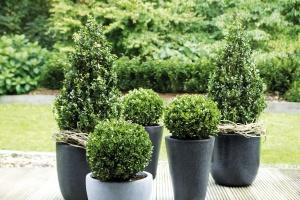 Buchsbaumersatz – Ilex Robustico als gesunde Alternative