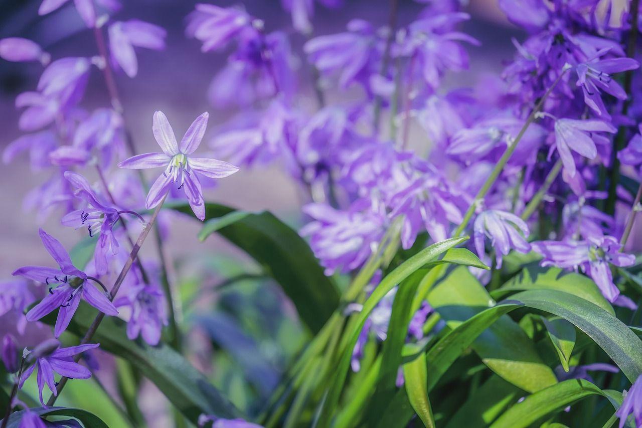 Blaustern – ein Pflanzenportrait