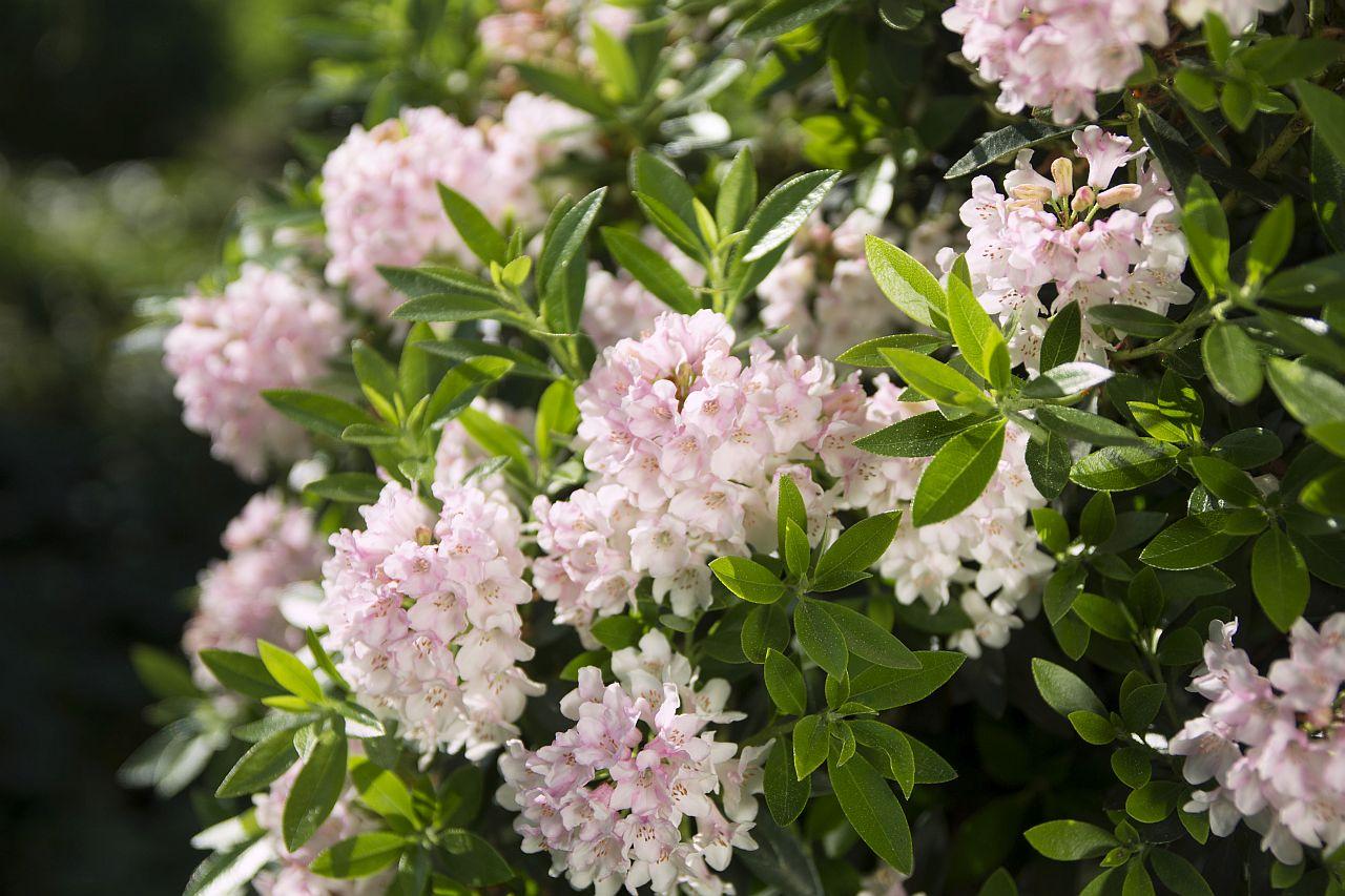 Buchsbaumhecke geplant? Besser Bloombux pflanzen!
