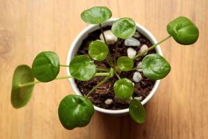 Pilea – eine besondere Pflanzenerscheinung