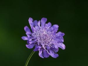 Die Witwenblume pflanzen und pflegen