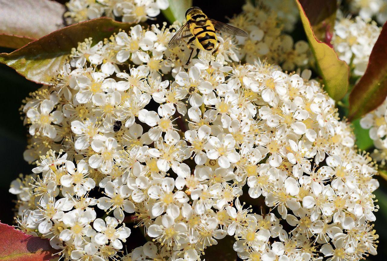 Blüten der Glanzmispel