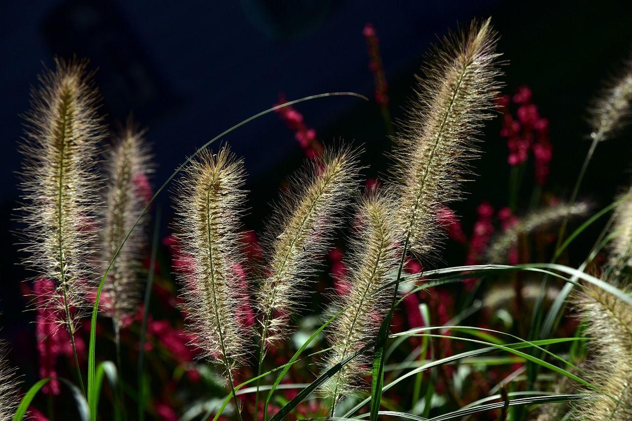 Pfeifenputzer- oder Lampenputzergras – ein Pflanzenportrait