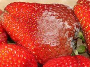 Was kann man tun, wenn die Erdbeeren faulen?