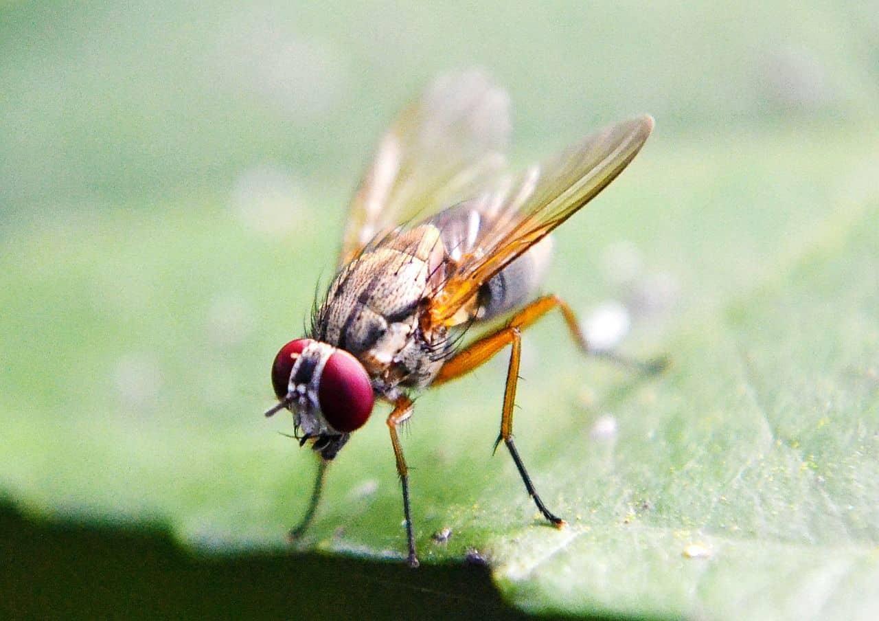 Das lässt sich gegen Fruchtfliegen im Haus oder der Wohnung tun