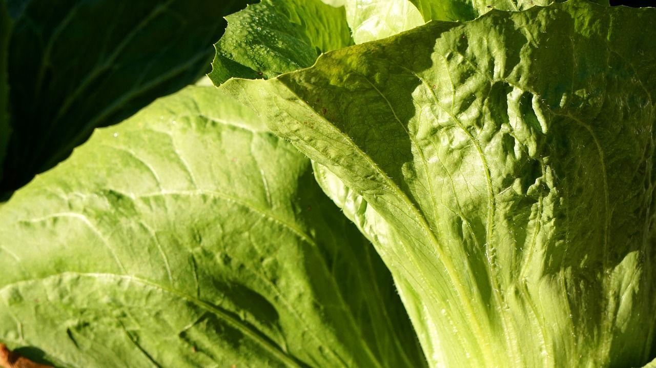 Zichoriensalat oder Zuckerhut anbauen