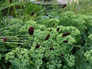 Wiesenknopf – Küchenkraut und Zierpflanze