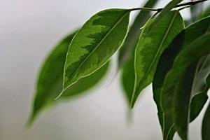 Die Birkenfeige – ein Pflanzenportrait