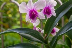 Dendrobium – ein Pflanzenportrait