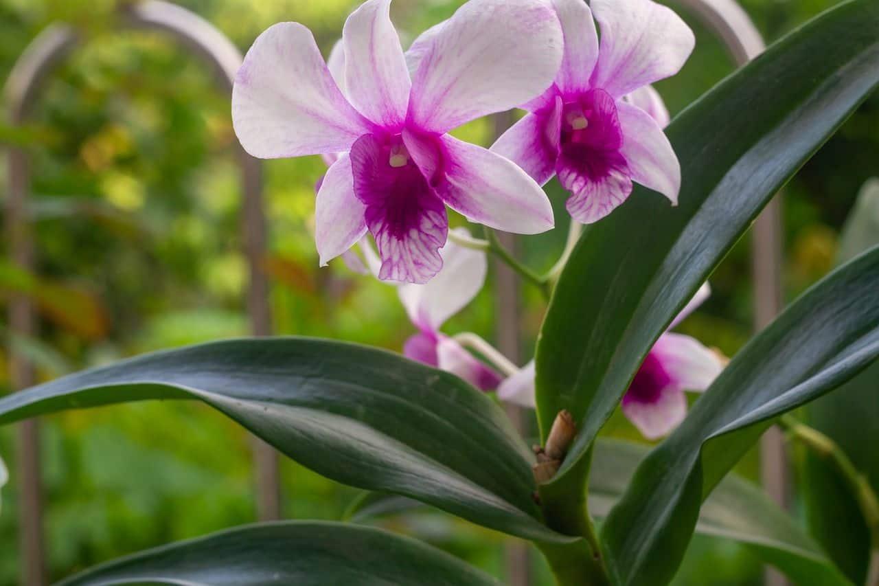 Read more about the article Dendrobium – ein Pflanzenportrait
