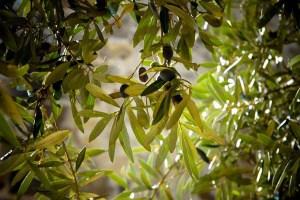 Was kann man tun, wenn der Olivenbaum Blätter verliert?