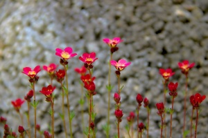 Der Steinbrech – ein Pflanzenportrait