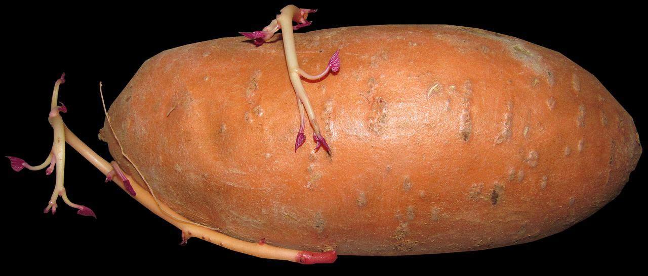 So werden Süßkartoffeln richtig geerntet