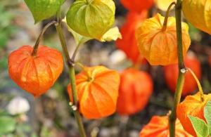 Die Lampionblume anpflanzen und pflegen