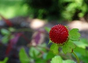 Die Scheinerdbeere – ein Pflanzenportrait